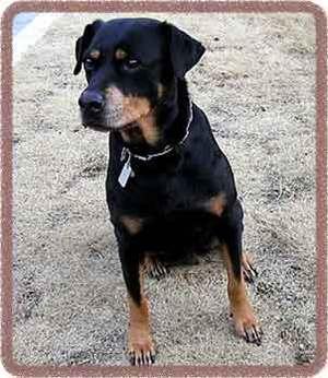 Rottweiler_dog01_2